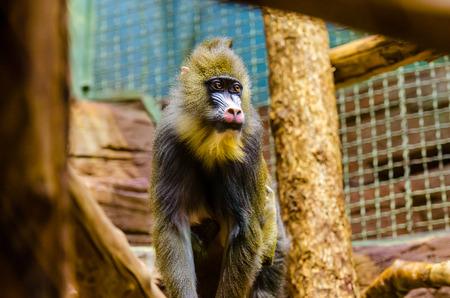 mandrill: Mandrill in zoo