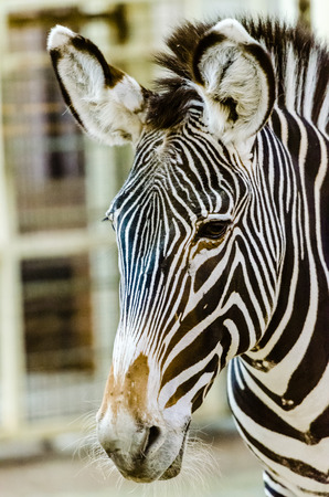 burchell: Zebra at the zoo Stock Photo