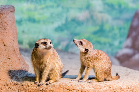 meer: Meerkats at the zoo
