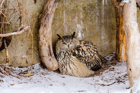 fascinate: Великий филин в Московском зоопарке