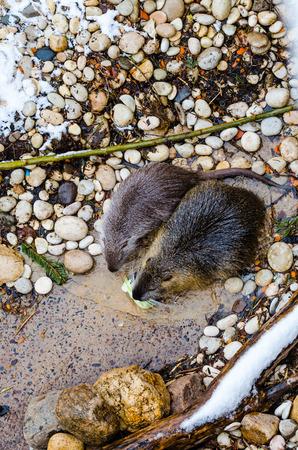 muskrat: A muskrat (Ondatra zibethicus) in the Moscow zoo Stock Photo