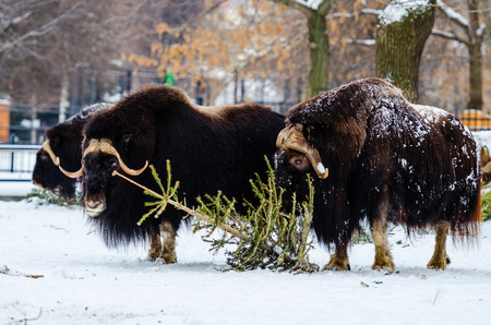 resisting: Musk ox in the Moscow zoo