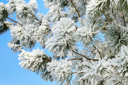 snowscene: Branch of a pine covered with frost