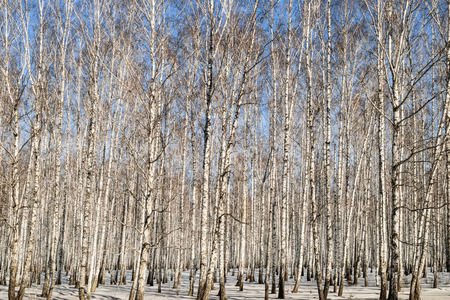 birchwood: Birchwood in the winter in Russia Stock Photo