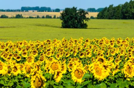Sommerlandschaft: Sonnenblumen-Feld an einem sonnigen Tag