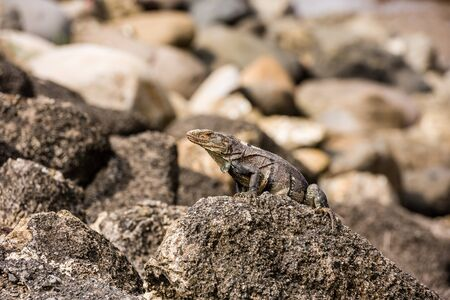 Iguana sitting on a stone on the Pacific coast. Costa Rica. Imagens