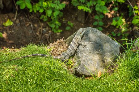 Iguana is sitting on a stone. Costa Rica. Central America Imagens