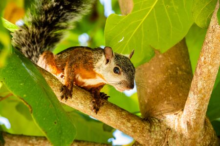 A tropical squirrel sits on an almond tree. Costa Rica Imagens