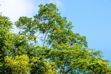 Flock of macaw parrots are sitting on a tree in a rainforest. Costa Rica