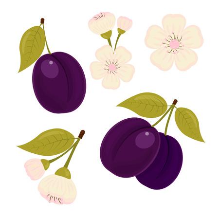prune: Ripe drained. Illustration