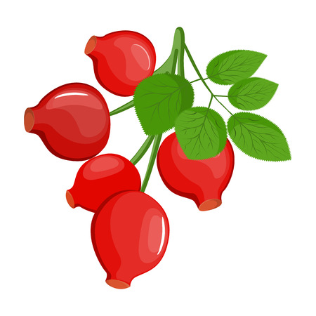 A branch of red ripe dog rose with leafs, Rosa canina fruit- line drawing, isolated, colored, icon. Vector stock.
