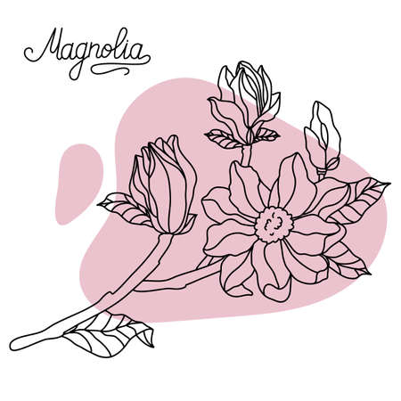 Floral botany collection sketch. Magnolia flower drawings. Hand drawn botanical illustrations. Vector.