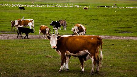 suckle: grasslands and cows