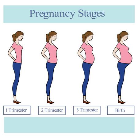 Pregnancy stages illustration. Illustration
