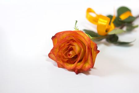 orange roses: orange roses on white background Stock Photo