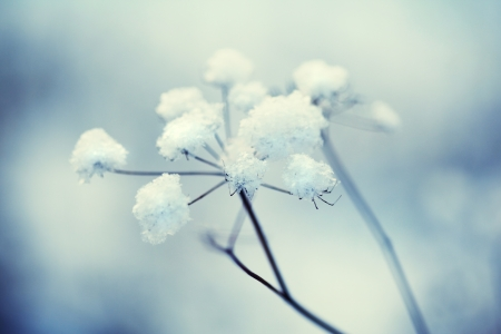 Beauty of winter, frozen flower with snow  photo