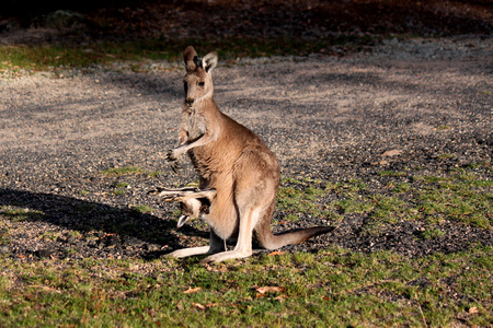 pouch: Female kangaroo with baby in pouch Stock Photo