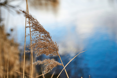 sway: Dry grass in wind on the blue sky background at danube river Stock Photo
