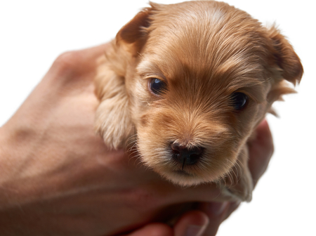 heartwarming: Havanese puppy looks into the camera with his tongue out, holding puppy in hand. Stock Photo