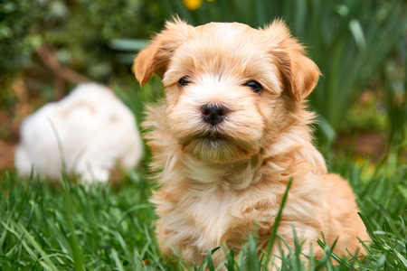 whitsun: Havanese puppy sitting in grass looking into the camera - with another puppy in the background