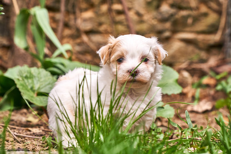 White havanese puppy looking shy into the camera - brown background