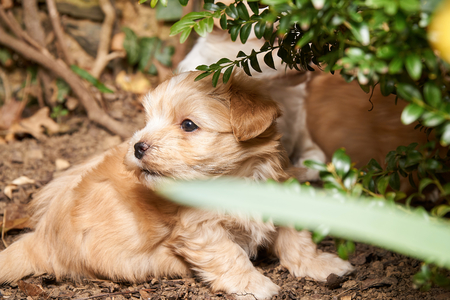 whitsun: Another havanese puppy in the background hiding.