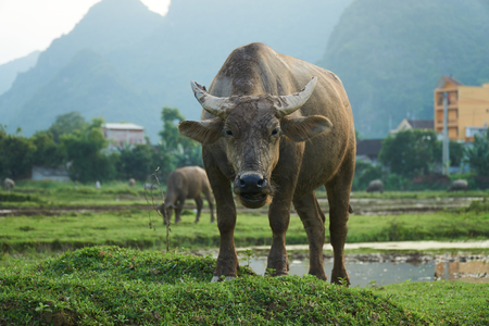 big bang: A portrait of a water buffalo on a rice field in Phong Nha, Vietnam