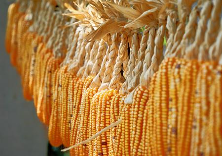 Veel maïskolf, opgehangen om te drogen in de zomerzon. Met een lage scherptediepte. Stockfoto