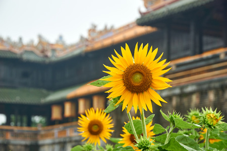 Sunflower in front of the entrence door from the imperial city, Hue, Vietnam