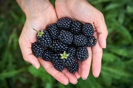 Fresh picked blackberrys in a girls hands. With copyspace.
