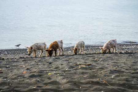 Wild pigs searching for food at the beach on the island ometepe in nicaragua. Stock Photo