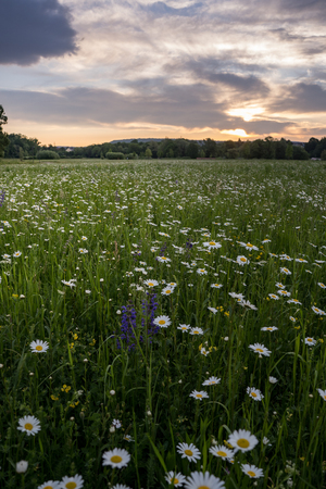 Marguerites on a meadow in spring at sunrise. At Bayreuth, Germany, Wilhelminenaue. Stock Photo