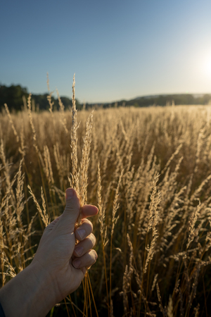 Dry gras in the sunset against the sun with a male hand touching.