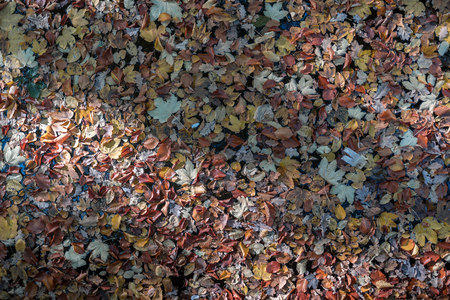 Multicolored leaves swimming on water in a lake in autumn. Standard-Bild