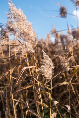 Selective soft focus of beach dry grass, reeds, stalks blowing in the wind at golden sunset light.