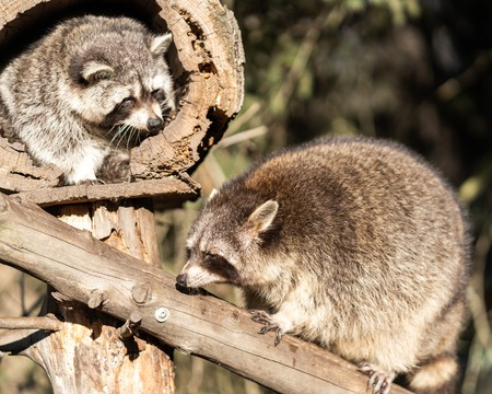 Two Raccoons or Racoon Procyon lotor, also known as the North American raccoon, in the zoo.