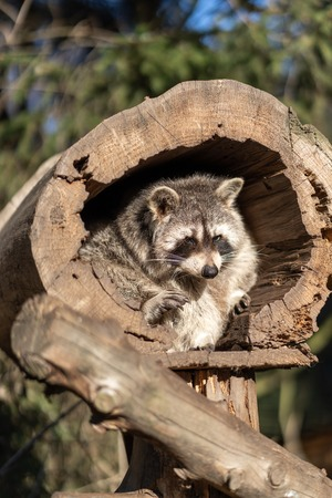 Raccoon or Racoon Procyon lotor , also known as the North American raccoon in the zoo. Standard-Bild