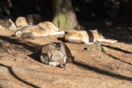 A pack of wild wolves are sleeping in the sun. One Wolf in the foreground. Standard-Bild