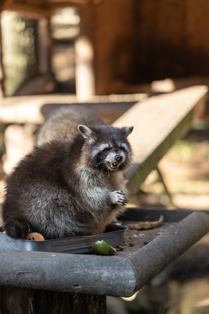 Eating Raccoon or Racoon Procyon lotor , also known as the North American raccoon at mealtime in the zoo.