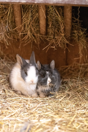 Two small baby bunnys sitting together in the stable.