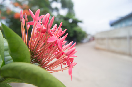 southeast asia: Beautiful pink  Rauvolfia Serpentine  flower in Thailand, Southeast Asia