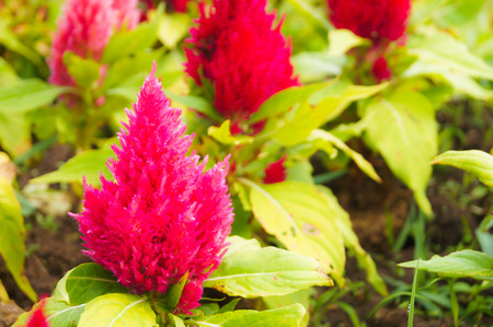 amaranthus: Closeup shot of a red celosia ornamental plant which has flame form flower head. This pllan tis used as medicine for treatment for intestinal, blodd, mouth and eye deseases. It also is used as vegetable food Stock Photo