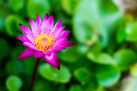 Beautiful blooming pink lotus flower.(Water Lilly) photo