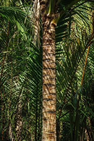 bole: Coconut Stem Stock Photo