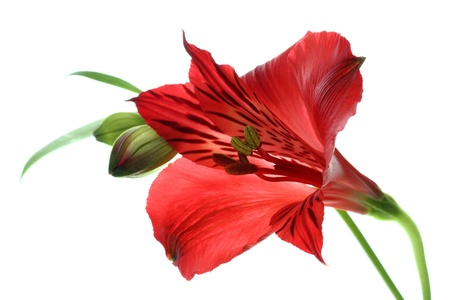 alstroemeria: beautiful alstroemeria