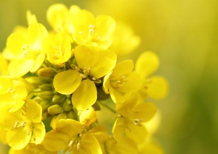 oleifera: La violaci�n del jard�n de flores