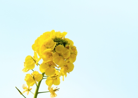 napus: Rape of the blue sky background Stock Photo