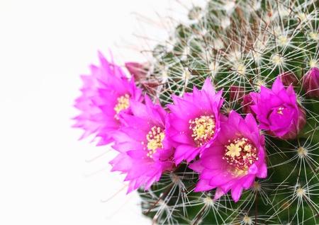 charnu: Fleur de la plante charnue