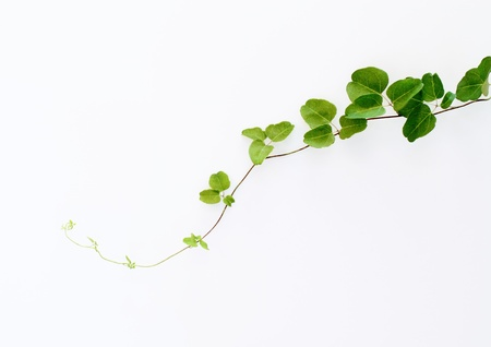 Background of green ivy Stock Photo