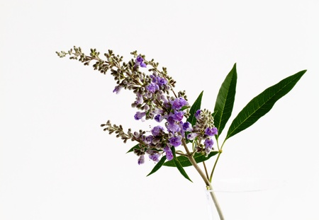 Vitex of the light purple